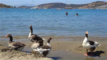 Турецкие гуси