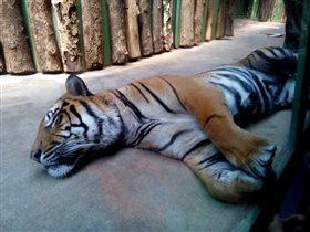 Тигра спит. Она устала...