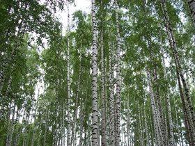 Полосатый лес