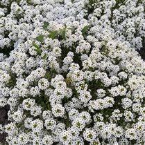 Нежно - белые цветы