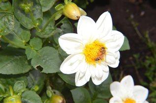 Белый цветок и пчела