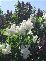 Цветы двух цветов