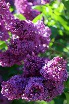 Сиреневый сад. Фиолетовая сирень