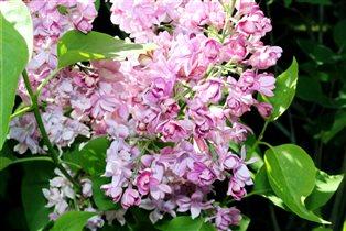 Сиреневый сад. Розовая сирень
