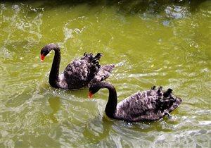 Чёрные лебеди. Московский зоопарк.