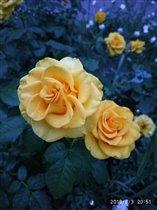Розы цвета солнышка