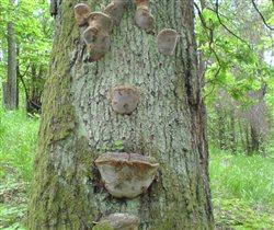 дубовые грибы