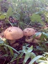 Березовые Белые грибы