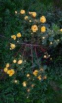 Шиповник в цвету.