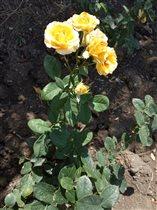 Первый год на моей даче цветут розы)))