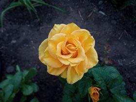 Желтая красавица...