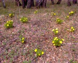 Адонисы в поле около леса рядом с нашим садом