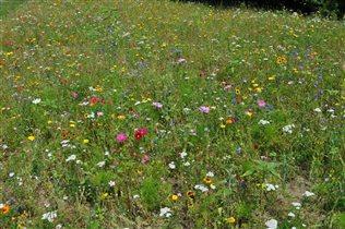 Полевые цветы Германии