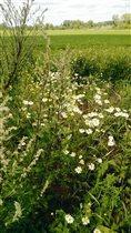 «Блиц: полевые цветы» Ромашки на полях
