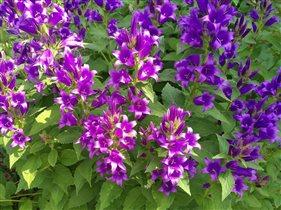 Блиц: полевые цветы. Колокольчики.
