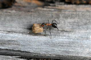 Представитель муравьиного клана)