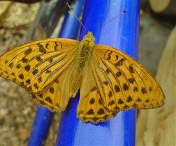бабочка - перламутровка