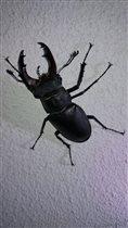 Наш ночной гость жук-рогач
