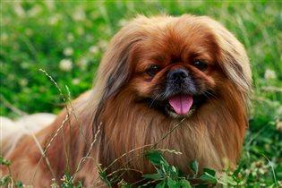 Породы собак, подходящие для пожилых людей