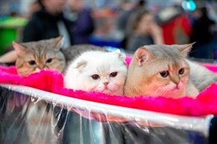 Выставка кошек «Кэтсбург-2020»